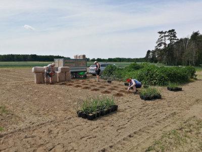 Erfolge Etablierung eines Versuchsanbaus für das SMUL / BioChem agrar in Trossin