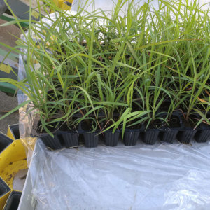Pallet with Miscanthus advanced plants