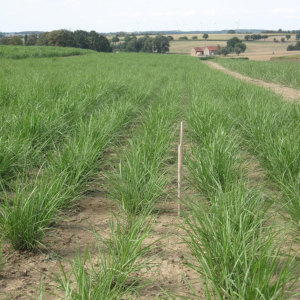 Miscanthus in autumn after in-vitro planting